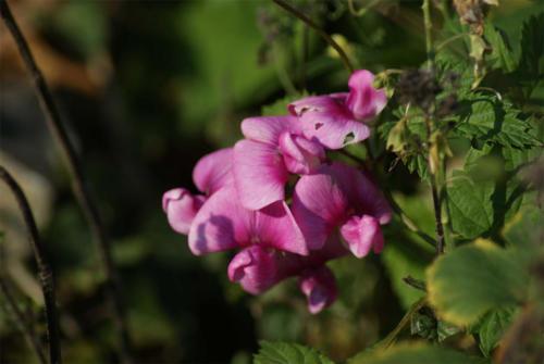 Sweet pea in Sacristan Garden