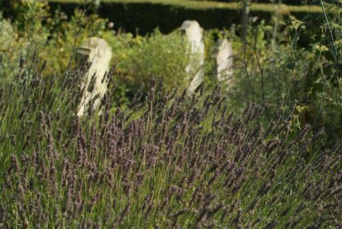 Lavender in Sacristan Garden