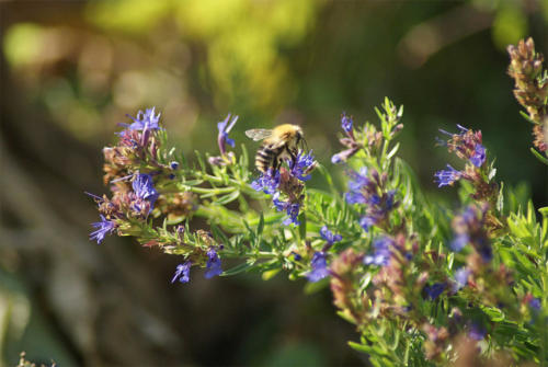 Bumblebee on purple flower in Sacristan Garden