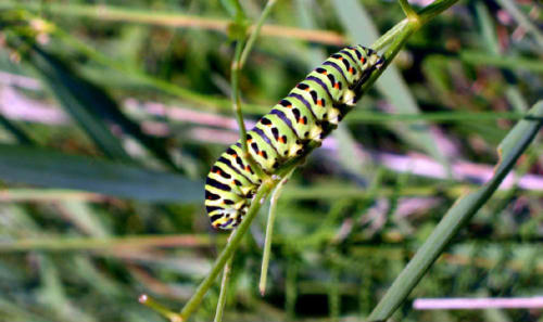 The Caterpillar of the Swallowtail Butterfly